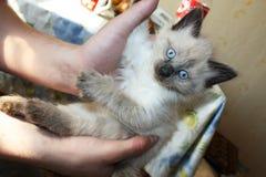 Weinig zwart-wit katje met blauwe ogen royalty-vrije stock fotografie