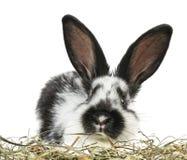Weinig zwart-wit konijn Stock Afbeeldingen