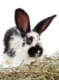 Weinig zwart-wit konijn Royalty-vrije Stock Foto's