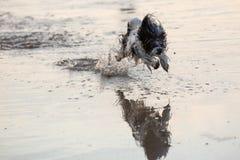 Weinig zwart-witte hond die rond in ondiepe wateren lopen stock foto