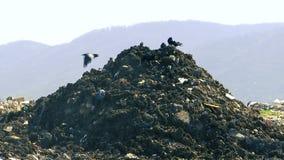 Weinig zwarte kraaien bovenop een stapel van huisvuil dumpen stock footage