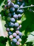 Weinkellerei-Trauben Lizenzfreies Stockfoto