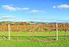 Weinkellerei-Trauben-Reben in den Herbst-Farben Stockfoto