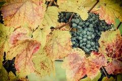 Weinlese-blaue Trauben auf einer Niederlassung Stockfotos