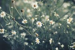 Weinlese-Blumenhintergrund mit Gänseblümchen Lizenzfreies Stockbild