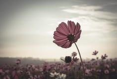 Weinlese-Kosmosblumen in der Sonnenuntergangzeit lizenzfreie stockfotos