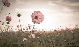 Weinlese-Kosmosblumen in der Sonnenuntergangzeit lizenzfreies stockbild