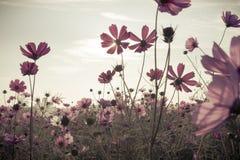 Weinlese-Kosmosblumen in der Sonnenuntergangzeit stockbild