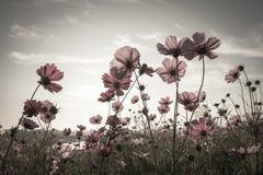 Weinlese-Kosmosblumen in der Sonnenuntergangzeit stockfotos