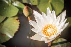 Weinlese Lotus Stockfotografie