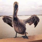 Weinlese-Pelikan Stockbild