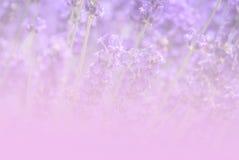 Weinlese-Tonhintergrund des Lavendelfeldes im lizenzfreie stockfotografie