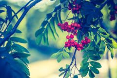 Weinlesefoto der roten Eberesche trägt auf Niederlassung Früchte Lizenzfreies Stockbild