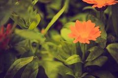 Weinlesefoto der schönen Calendulablume Lizenzfreie Stockfotografie