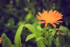 Weinlesefoto der schönen Calendulablume Lizenzfreie Stockfotos