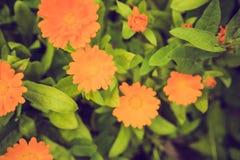 Weinlesefoto der schönen Calendulablume Stockbild
