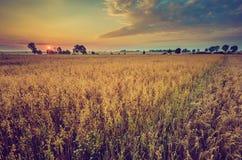 Weinlesefoto des frühen Morgens auf Roggenfeld Lizenzfreie Stockbilder
