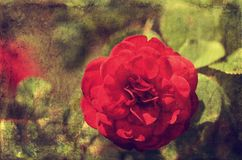 Weinlesefoto einer Rosenblume lizenzfreies stockbild