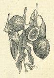 Weinleseillustration der Niederlassung der Zitronen lizenzfreie abbildung