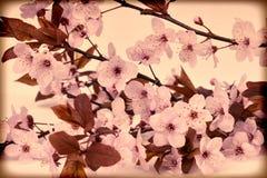 Weinlesekirschblüte lizenzfreie stockfotografie