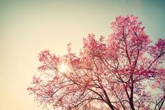 Weinlesekirschblüte - Kirschblüte-Blume lizenzfreies stockbild