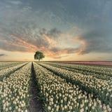 Weinleselandschaft mit Tulpenfeldern und Baum Stockfotografie