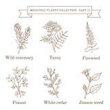 Weinlesesammlung Hand gezeichnete medizinische Kräuter und Anlagen, wilder Rosmarin, Tansy, Fireweed, Erdnuss, weiße Zeder, jimso stock abbildung
