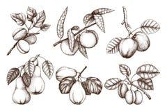 Weinlesesammlung reife Früchte und Beeren - Apfel, Birne, Pflaume, Pfirsich, Aprikosenbaumskizzen Hand gezeichnete Ernteillustrat lizenzfreie abbildung
