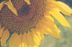 Weinlesesonnenblumen-Kopfnahaufnahme Lizenzfreie Stockfotografie
