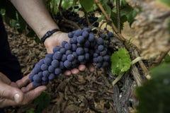 Weinlesetrauben Lizenzfreies Stockfoto