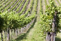 Weinproduktion - Landwirtschaft Lizenzfreie Stockfotos