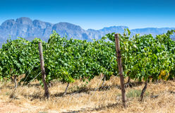 Weinrebe im Weinbergabschluß oben an heißem Sommer ` s Tag lizenzfreie stockbilder