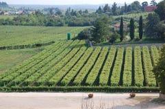 Weinrebe-Reihen an der Weinkellerei Stockbilder