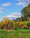 Weinreben am Herbst im Weinkellereiweinberg Stockbild
