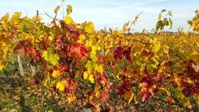 Weinreben im Herbst lizenzfreies stockfoto