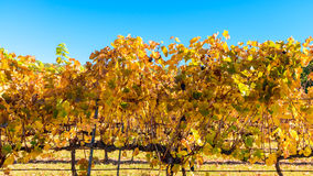 Weinreben im Herbst Stockbild
