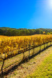 Weinreben im Herbst Stockfotografie