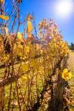 Weinreben im Herbst Stockfoto