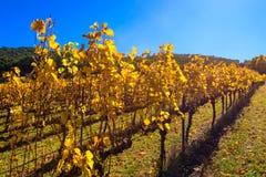 Weinreben im Herbst Lizenzfreies Stockbild