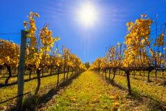 Weinreben im Herbst Lizenzfreie Stockfotografie
