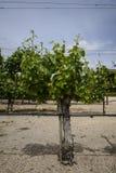 Weinreben in Napa Kalifornien von einem großen Stamm Lizenzfreies Stockbild