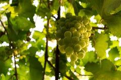 Weinreben in rohem bereitem des Weinbergs zu den Erntetrauben mit Wassertröpfchen stockfoto