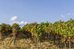 Weinreben und Weinstöcke mit Herbstlaub im blauen Himmel stockbild