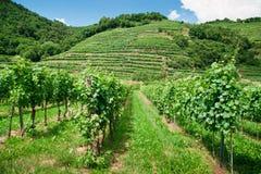 Weinstöcke in Österreich Lizenzfreies Stockfoto