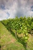 Weinstöcke Stockfotos