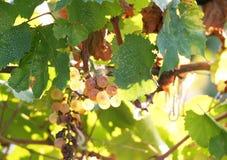 Weinstöcke Lizenzfreies Stockbild