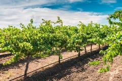 Weinstöcke in Barossa Valley Stockfoto