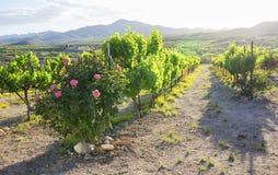 Weinstöcke an einem lokalen Weinberg stockbilder