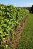 Weinstöcke in einem Weinberg Lizenzfreie Stockfotos