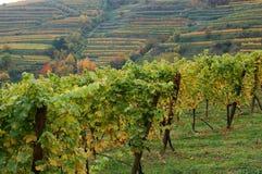 Weinstöcke im Herbst Stockfotos